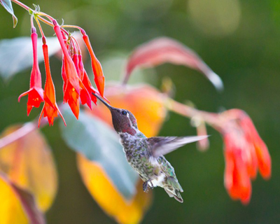 Hummingbird feeding at red flowers