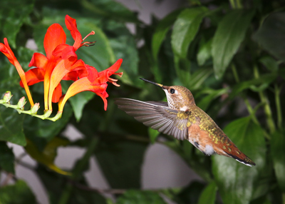 hummingbird feeding at yellow and red flowers