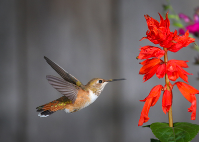 hummingbird at large red flower